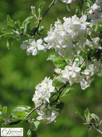 Weiß blühender Zierapfelbaum