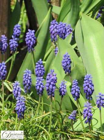 Bienenfreundliche Blumen & Schmetterlingsblumen - die schönsten Zwiebelpflanzen wie die blaue Traubenhyazinthen
