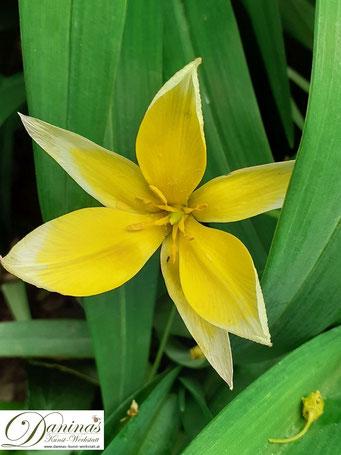 Bienenfreundliche Blumen & Schmetterlingsblumen - die schönsten Zwiebelpflanzen wie die Sterntulpe im Frühling