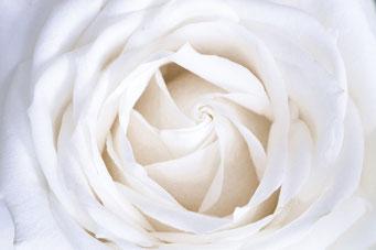 Witte Roos Inductie Beschermer