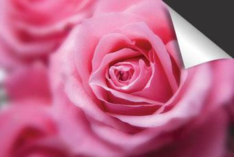 Roze roos Inductie Beschermer