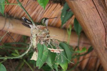 ein kleiner Kolibri beim Nestbau