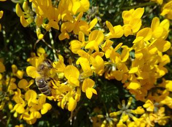 Barbara Widmer, Ginster mit Biene
