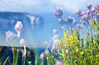 Étretat. Flore sur la Courtine © Annick Maroussy Amy