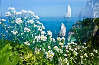 Étretat. Flore de falaise © Annick Maroussy Amy