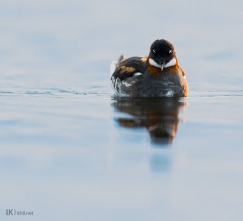 Odinshühnchen / Red-necked Phalarope (Phalaropus lobatus) | Female, Varanger/Norway, June 2015