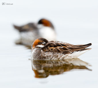Odinshühnchen / Red-necked Phalarope (Phalaropus lobatus) | Male and female sleeping, Varanger/Norway, June 2015