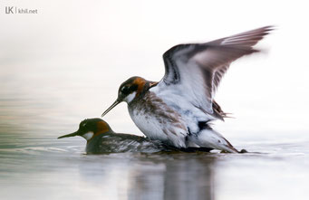 Odinshühnchen / Red-necked Phalarope (Phalaropus lobatus) | Pair mating, Varanger/Norway, June 2015