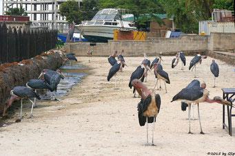 Marabu (Marabou-Stork)