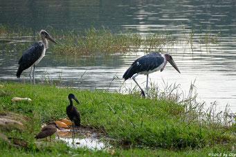Hammerkopf, Mohrenklaffschnabel, Marabu (Hamerkop, Open-bill Stork, Marabou-Stork)