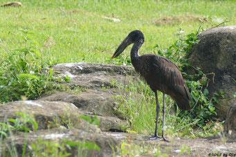 Mohrenklaffschnabel (Open-bill Stork)