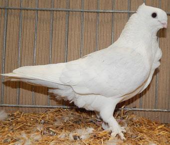 1,0 rotfahl mit weißen Binden, sg94, Hugo Geschwandtner