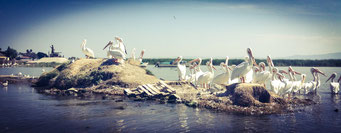Pelicano Blanco