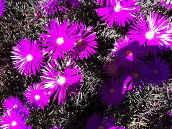 Flores moradas en Pozos