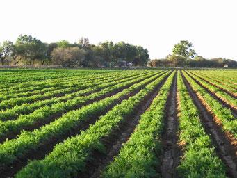 Campos de Zanahoria