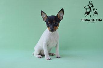 купить щенка той-фокстерьера, американский той-фокстерьер, питомник в спб, toy fox terrier, Terra Baltika, terra baltika, Терра Балтика, терра балтика
