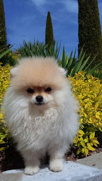 Pomeranian Hündin Happy von der Arnold's Eiche