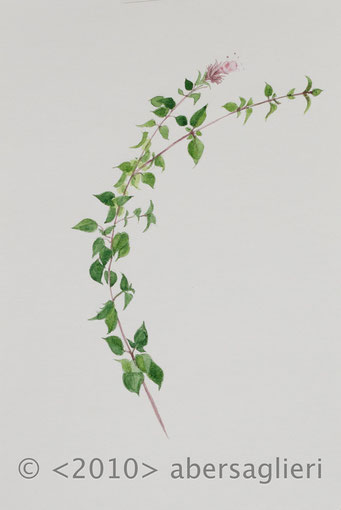 "Origanum dictamnus, watercolor on paper, 7""x9"", 2010"