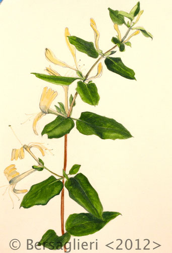 "Lonicera, watercolor on paper, 7""x9"", 2012"