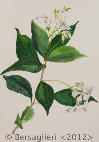 "Trachelospermum jasminoides, watercolor on paper, 7""x9"", 2012"