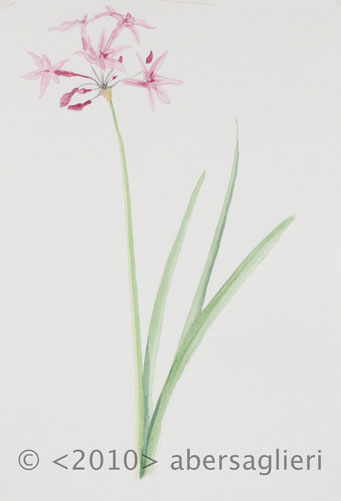 "Tulbaghia violacea, watercolor on paper, 7""x9"", 2010"
