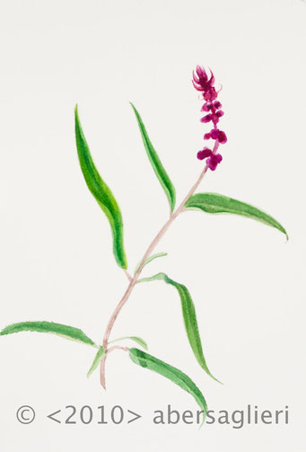 "Salvia leucantha, watercolor on paper, 7""x9"", 2010"