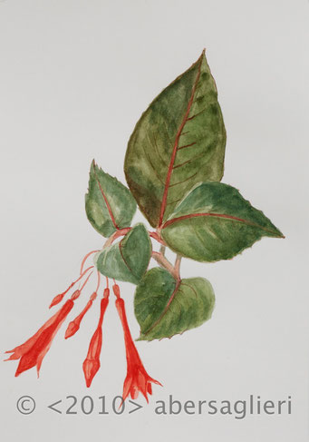 "Fuschia hybrida, watercolor on paper, 7""x9"", 2010"