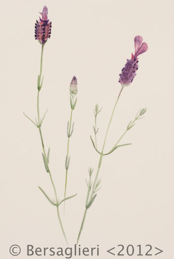 "Lavandula stoechas, watercolor on paper, 7""x9"", 2012"