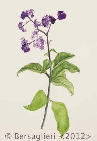 "Heliotropium arborescens, watercolor on paper, 7""x9"", 2012"
