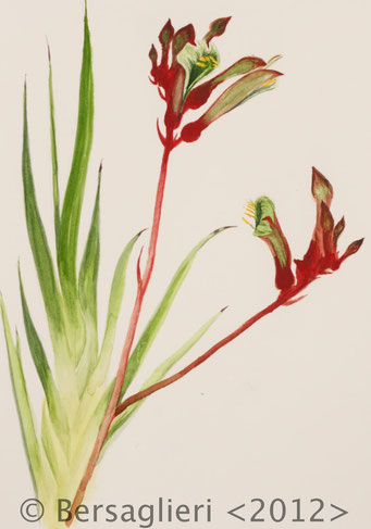 "Anigozanthos, watercolor on paper, 7""x9"", 2012"