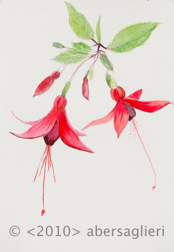 "Fuschia hybria, single, watercolor on paper, 7""x9"", 2010"