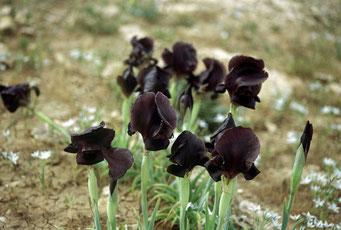 de zwarte iris, de nationale bloem