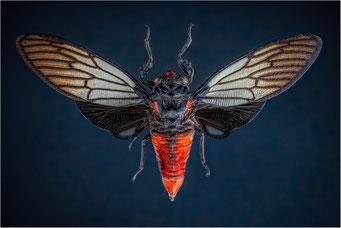 Red Devil Cicade