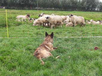 Huck en zijn eigenaar vinden het werke nbij de schapen geweldig leuk... Hier is Huck bij de schapen van Joke van Leeuwen