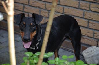 "Manchester Terrier Rüde ""Odin"""