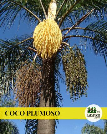 COCO PLUMOSO EN TENERIFE
