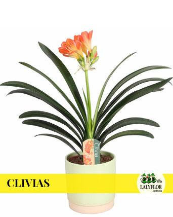 CLIVIAS EN TENERIFE
