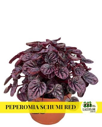 PEPEROMIA SCHUMI RED EN TENERIFE