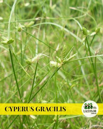 CYPERUS GRACILIS EN TENERIFE