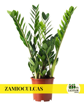 ZAMIOCULCAS EN TENERIFE