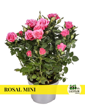 ROSALES MINI EN TENERIFE