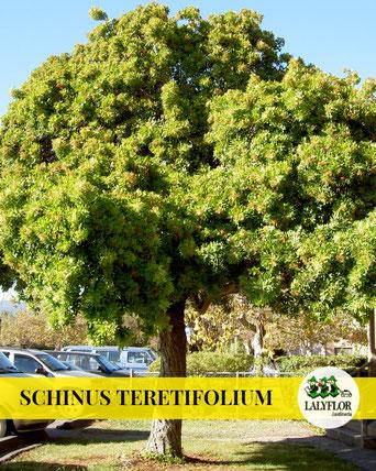 SCHINUS TERETIFOLIUM EN TENERIFE