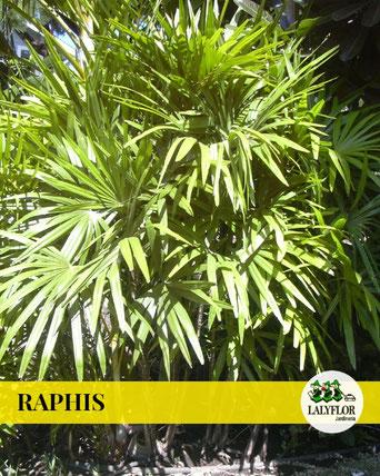 RAPHIS EN TENERIFE
