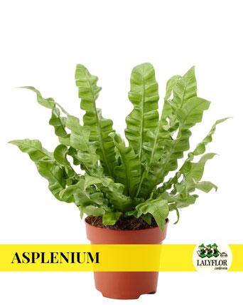 ASPLENIUM EN TENERIFE