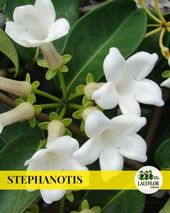 STEPHANOTIS EN TENERIFE