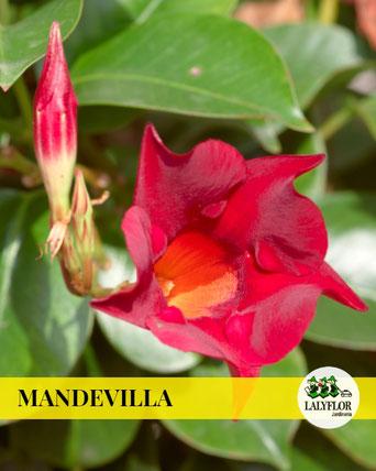 MANDEVILLA EN TENERIFE