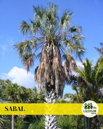 SABAL EN TENERIFE