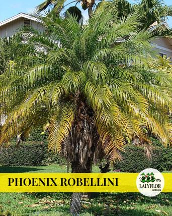 PHOENIX ROBELLINI EN TENERIFE