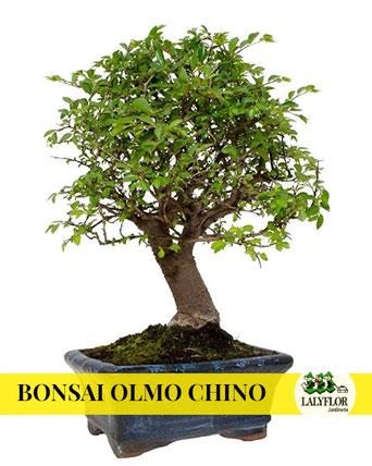 BONSAI OLMO CHINO EN TENERIFE