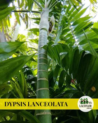 DYPSIS LANCEOLATA EN TENERIFE